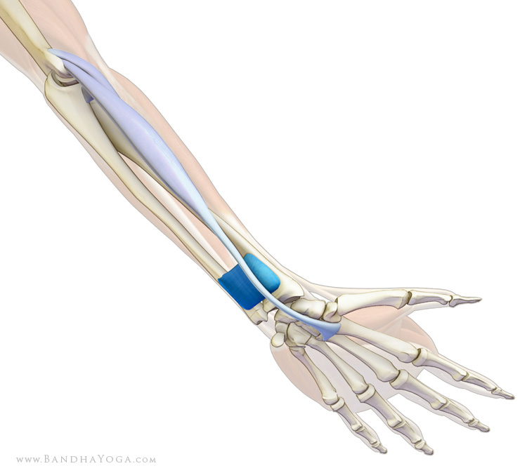 pronator quadratus and flexor carpi radialis