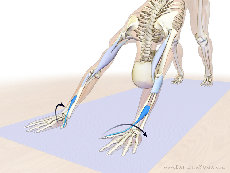 forearm supinators in downward facing dog pose