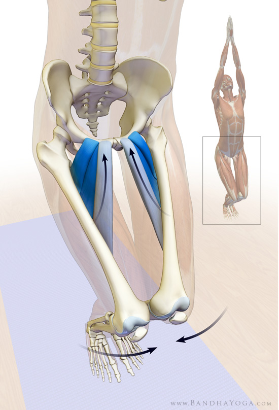adductors longus and brevis and pectineus in utkatasana
