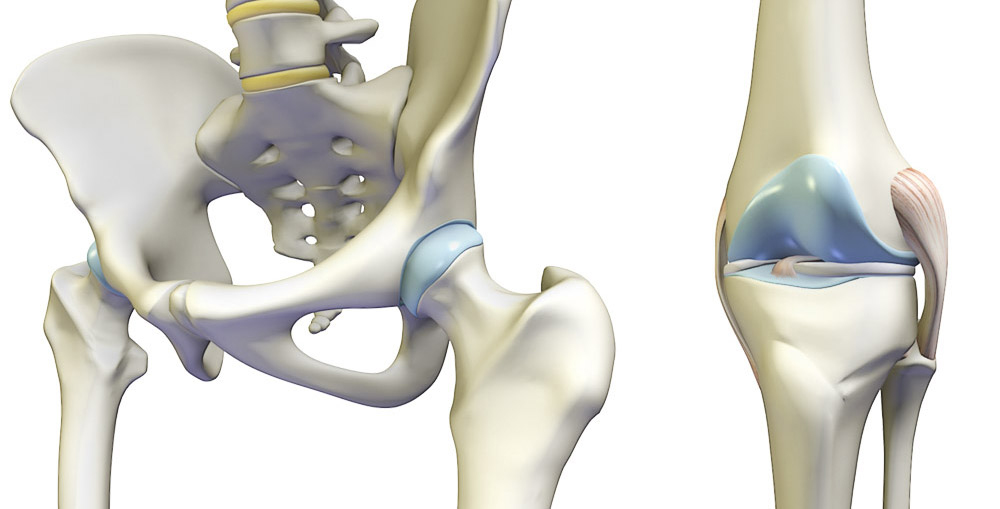 hip joint and knee joint