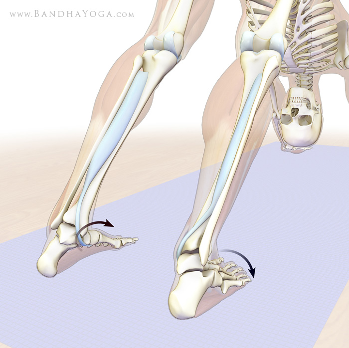 tibialis posterior in downward dog