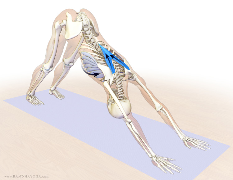 lower trapezius and serratus anterior - downward facing dog pose