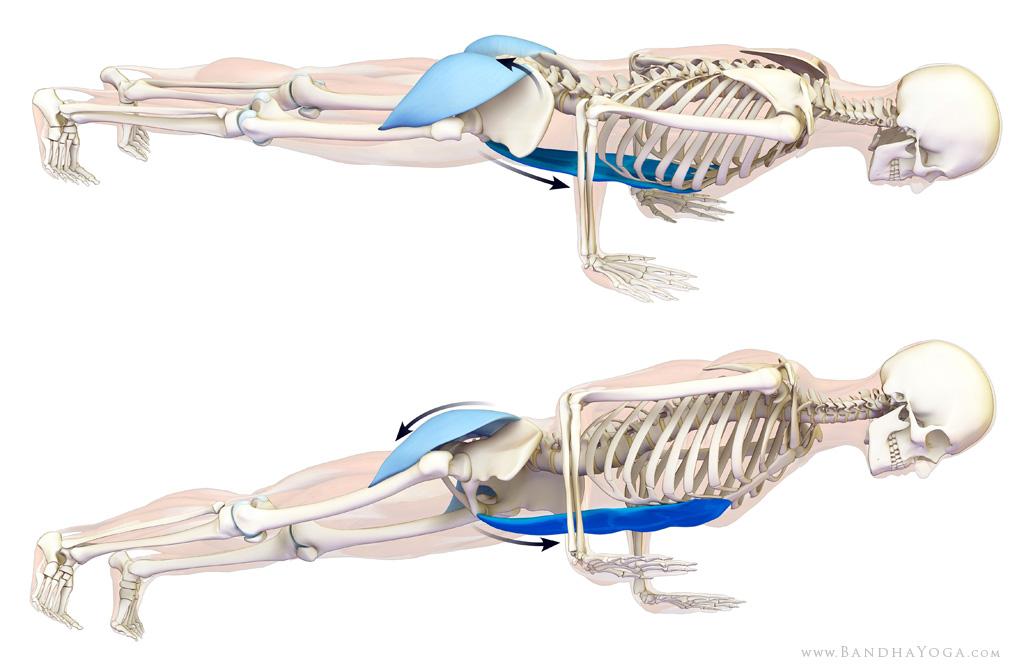 gluteus maximus and rectus abdominals