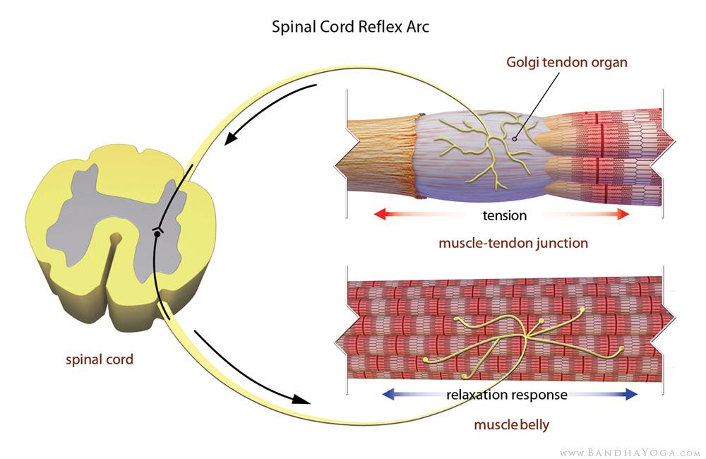 Golgi tendon organ spinal cord reflex arc