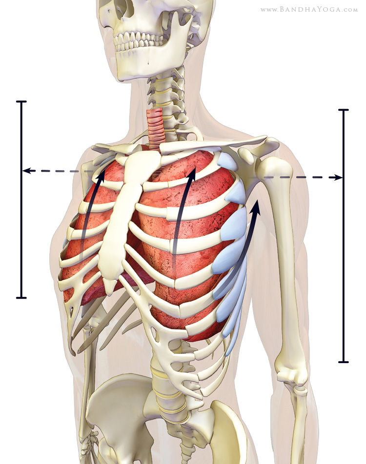 serratus anterior expanding the lungs