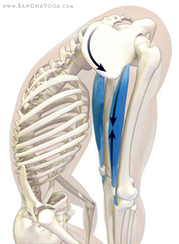 rectus femoris in uttanasana forward bend