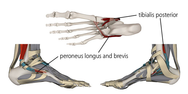 tibialis posterior, peroneus longus and brevis